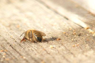 Arı Ölümleri Hakkında Yapılan Çalışmalar ve Gelişmeler