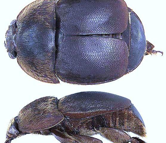 Küçük Kovan Böceği Zararlısı