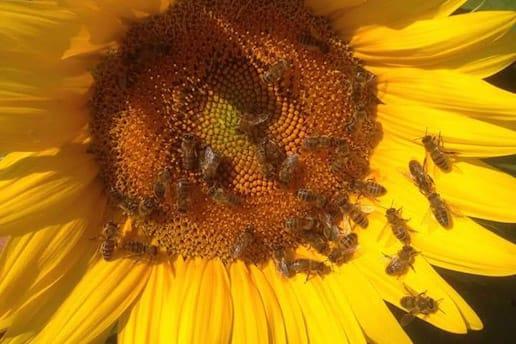 Trakya Bölgesi'nde Yaşanan Arı Ölümleri
